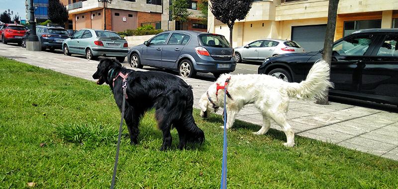 Paseando perros en Oviedo